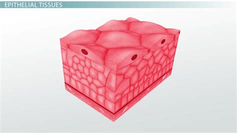Medical Terms for Epithelial Tissues - Video & Lesson