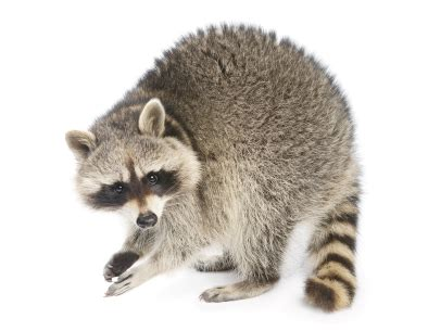 Identification of Raccoons: What Does a Raccoon Look Like?