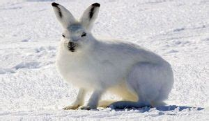 Tundra Animal List, Facts, Adaptations, Pictures