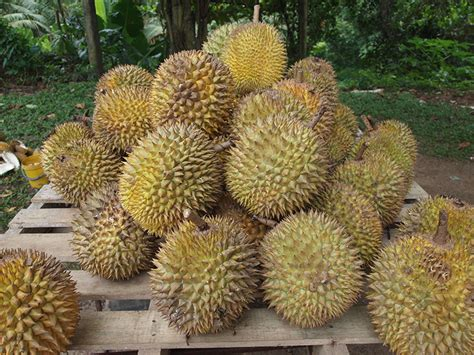 Durian Fruit: Stinkiest Fruit in the World
