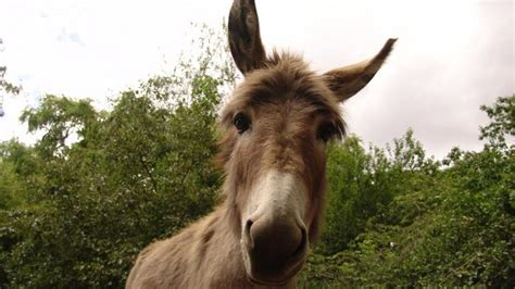 Misbehaving Donkey: Mexican donkey jailed for kicking and