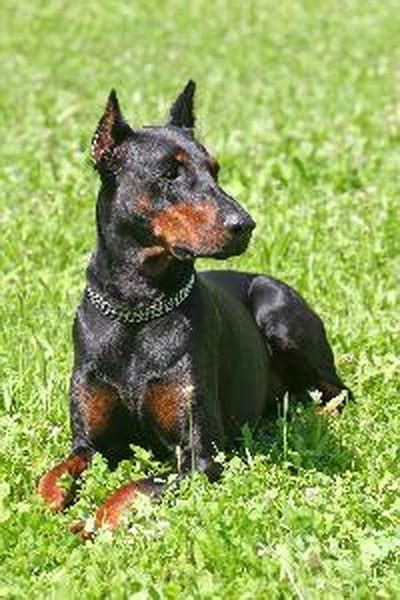 How to Train a Doberman Not to Be Aggressive - Pets