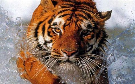 Tiger Amazon Kindle Fire wallpapers | Tablet wallpapers