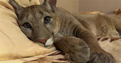 Russian Couple Rescue Puma From A Zoo And Raise It As A